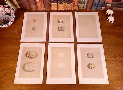 Lot of Six (6) Fine Original Antique 1896 Hand-Colored BIRD EGG Engraved Prints