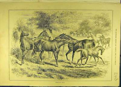 Old Antique Print 1884 Dangerous-Play Horses Foals Horse Animal 488681
