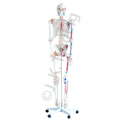 180cm Anatomical Human Skeleton Model Ligaments Painted Muscles - Medical