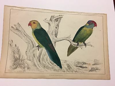 1850 Hand Colored Bird Print Parakeets Oliver Goldsmith History Earth Nature VG