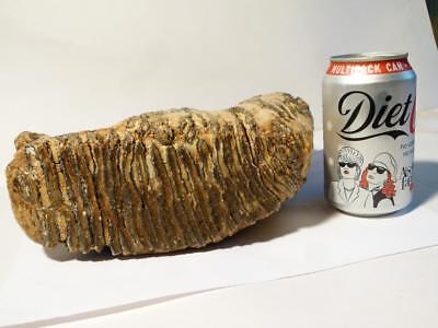 """Pre History Wooly MAMMOTH TOOTH Fossil 8x10x3"""" Weighs 3.75 Kilos"""