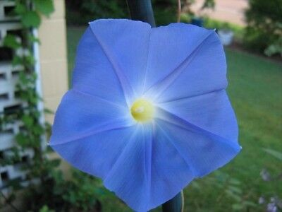 Ipomoea tricolor-'Heavenly Blue'-morning glory - 10 fresh seeds