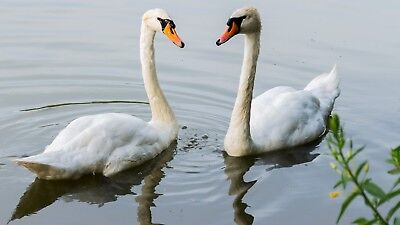 Photo, Wallpaper Digital Picture free ship world wide, Swans