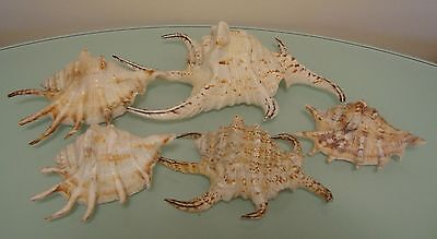 5 Large / Various Chiragra Spider Conch Seashells Excellent Condition