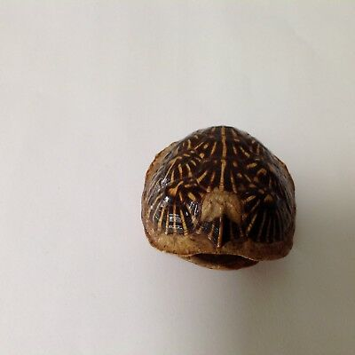 "Vintage Small Dalmation Turtle Shell 3"" X 2 1/2"""