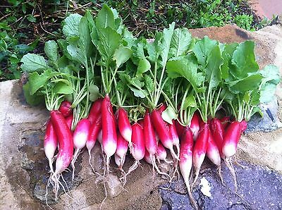 Radish French Breakfast  200 Seeds Organic