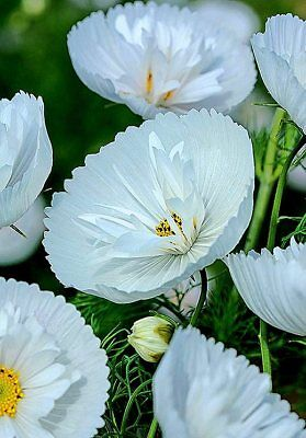 Cosmos bipinnatus 'Cupcakes White' x 10 seeds. Ask for combined postage