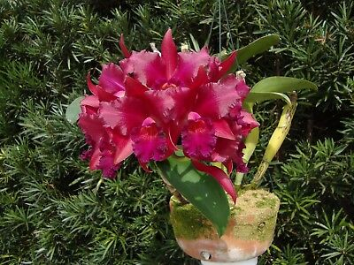 Cattleya orchid - Blc. Nobile's Bruno Bruno 'Big Red'