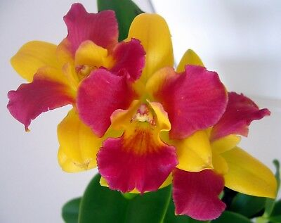 Cattleya orchid - Pot. Burana Beauty 'Burana'