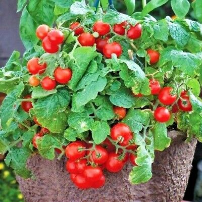 "30+TINY TIM DWARF PATIO TOMATO Seeds 16""Plant Hanging Baskets Containers/Garden"