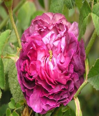 Heritage Rose Purple Rose Victorian Fragrant Rose Fragrant Flower