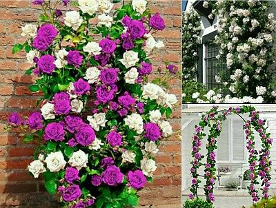 CLIMBING ROSE SEED PACK. 10 Purple & 10 White Climbing Roses Vine Flower