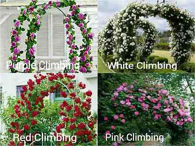 4 Pack Premium CLIMBING ROSE Seeds 10 RED WHITE PURPLE PINK Fence Vine