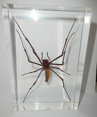 Large Giant Wood Spider Nephila maculata Clear Block Education Insect Specimen