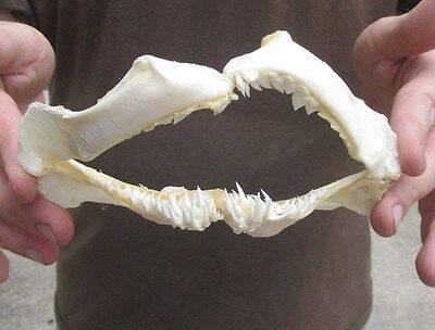 Rare 6 inch Snaggletooth Shark jaw teeth mouth # 20132