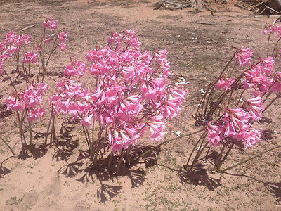 Belladonna Lily bulb x 1 (minimum 3 lots/3 bulb buy)