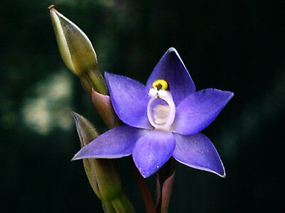 Australian terrestrial species orchid Thelymitra pauciflora three dormant tubers