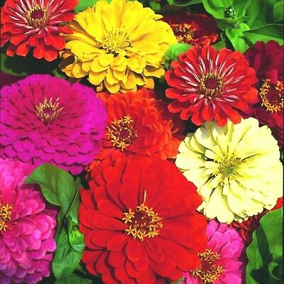 """300+GIANT DAHLIA ZINNIA MIX Flower Seeds 10 COLORS Big 5"""" Blooms Summer to Fall"""