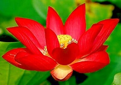 5 Fire Red Lotus Seeds