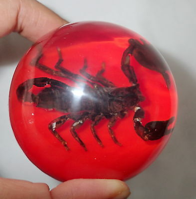 Black Asian Forest Scorpion in 75 mm Sphere Vechicle Shift Knob on Red Bottom