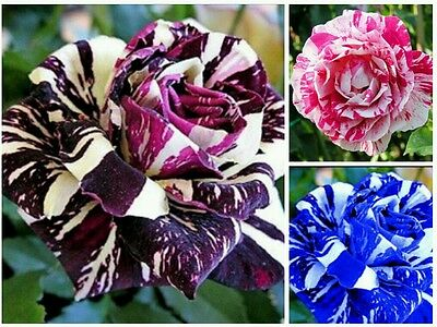 30 Premium DRAGON STRIPED Rose Seeds - BLACK BLUE PINK Gift Garden VALUE PACK