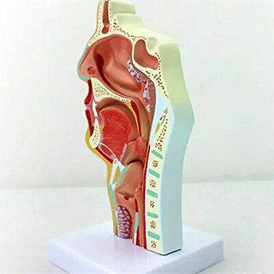 ed9c19ad6b5 1:1 Human Anatomical Nasal Cavity Throat Anatomy Medical Pathology Model