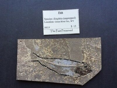 Authentic Fish Fossil Knightia Unprepped From Wyoming Green River Formation
