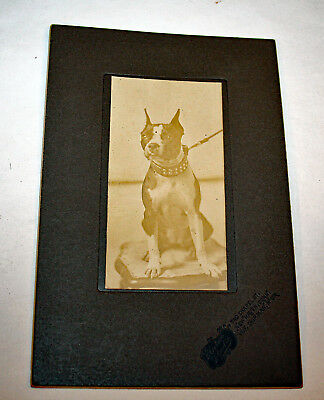 Precious Boston Terrier Dog Cabinet Card Signed Dated 1906 New Haven CT