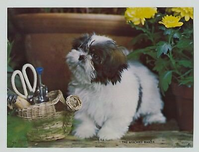 "Vintage 1960's-70's  Darling Dog Print Shih Tzu ""The Mischief Maker"""