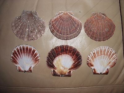 Giant Scallop shells flat (6) wind chimes, art and craft Wedding Favour candle
