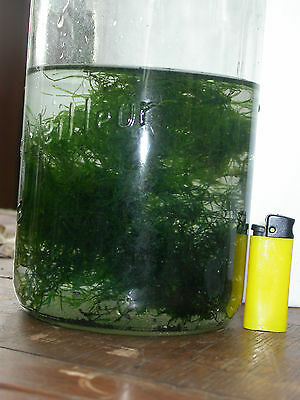 MOUSSE DE JAVA double portion ( 2 x 30 grammes )  aquarium nano plante