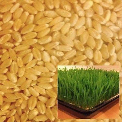 Organic Wheat Grass Seeds for Sprouting - 2.5kg