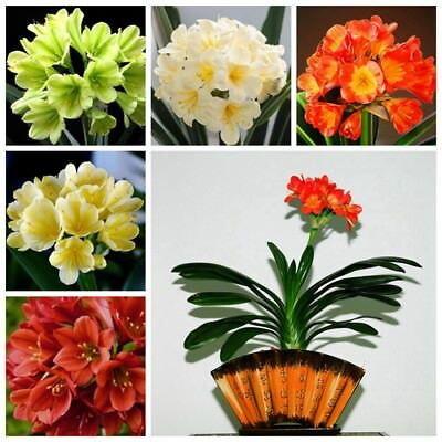 1 Pack 5 Clivia Flower Seeds Multi-Colored Perennial DIY Home Garden S082