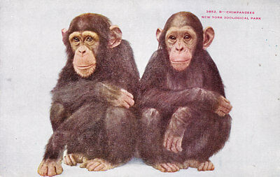 Vintage Postcard Early 1900´s,Pair of Chimpanzees. New York Zoo. Very good cond.