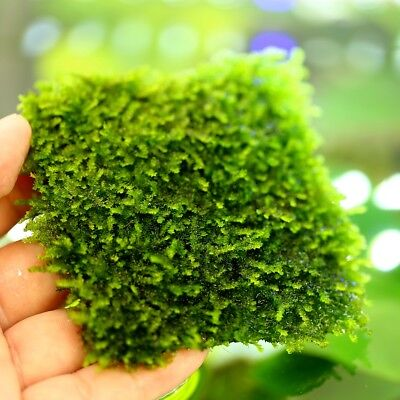 1pc Aquarium Water Plants Live TAIWAN Moss pad - Decoration Fish Tank Wall
