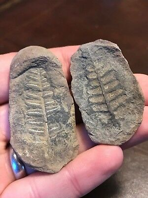 Mazon Creek Fossil Fern - Pecopteris - 300 million years old - NO RESERVE
