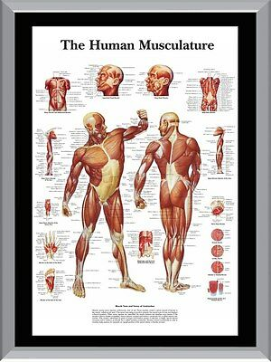 HUMAN MUSCLE CHART Musculature A1 To A4 Size Poster Prints - £5.38 ...