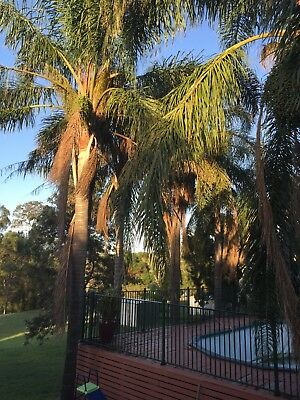 Magnificent Cocos Palm Trees 5 Mtrs x 7