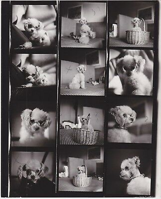 Poodle W/ Toy Cat Head Lilly Dache Model Dog Vintage Photo Shoot Contact Sheet