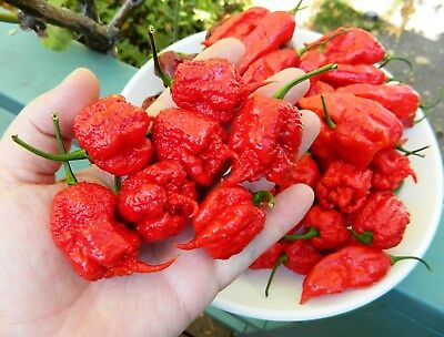 10 Carolina Reaper Seeds  Hottest pepper on Earth! Organic 2017 lot U.S.A.