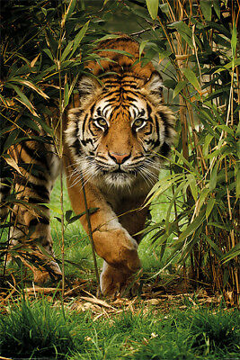 Bamboo Tiger Maxi Poster 61cm x 91.5cm PP34091 - 348