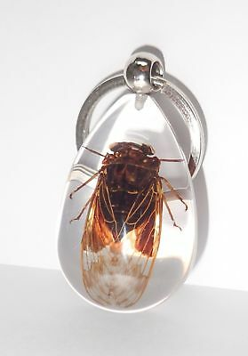 Grass Cicada Mogannia hebes Insect Specimen Key Ring SK09 Clear