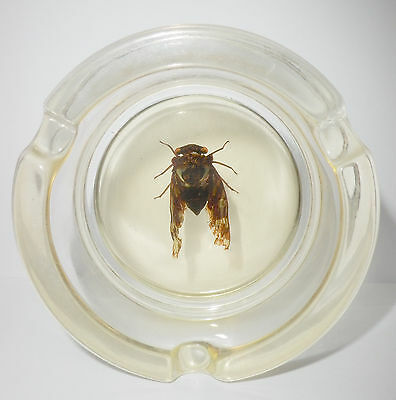 Insect Ashtray Grass Cicada Mogannia hebes Specimen Clear