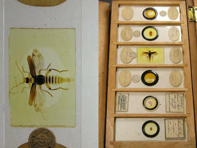 A Small Collection of 17 Antique Microscope Slides Insects & Others