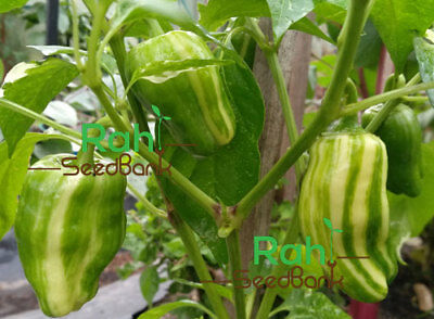 Candy Cane Hybrid Pepper - Eye-catching Variegated Sweet Flavor Pepper, OZ Grown
