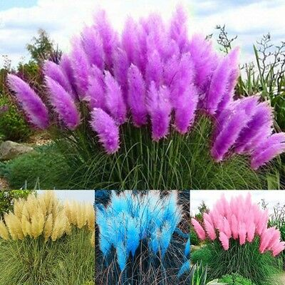 pampas grass white feather 200 seeds cortaderia selloana perennial chf picclick ch. Black Bedroom Furniture Sets. Home Design Ideas