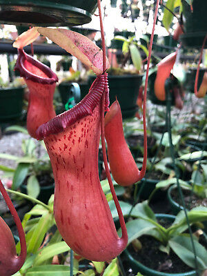 NEPENTHES VENTRICOSA 'HOT LIPS' hanging climbing carnivorous pitcher plant