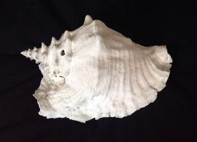 """Vintage Unpolished Very Large Queen Conch Shell 28 cm (11"""") wide"""