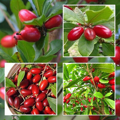 10x miracle fruit seed synsepalum dulcificum tropical exotic berry rare JX