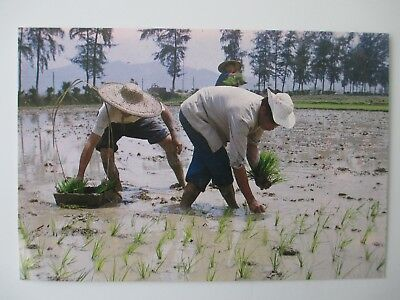 Postcard China Rice Seedling Transplanted April or August for Chinese
